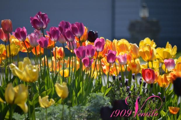 tulips.1909Ventilo