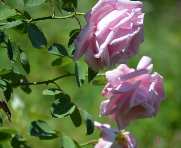 1909Ventilo.Rose