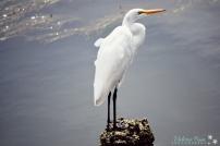 Egret.florence.oregon